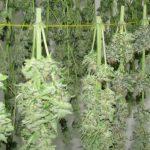 hemp seed sale